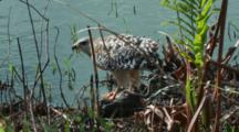Vigilant Hawk Eats Prey At Water's Edge