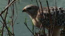 Vigilant Hawk Eats Prey At Water's Edge