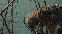 Hawk Eats Prey.  At Water's Edge, Hawk Watches Cameraman Closer View
