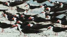 Black Skimmers Resting Group