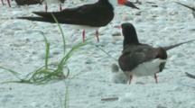 Black Skimmers Parents and Baby