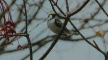 Chestnut-sided Warbler male sings