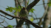 Ovenbird sings