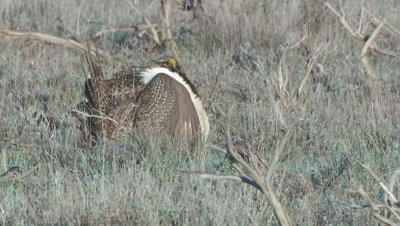Greater Sage Grouse male courting display