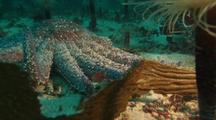 Giant Sunflower Sea Star With Tube Anemone