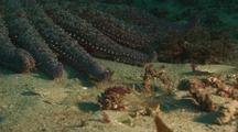 Giant Sunflower Sea Star Moving Towards Decorator Crab