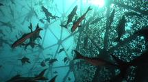 Traveling Pov Of Divers Inside An Aquapod Fish Farm.  Cobia Fish All Around, Light Filters Through Top.
