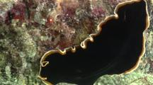 Flatworms Mating, Penis Fencing
