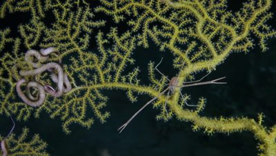Yellow Sea Fan and Snake Stars