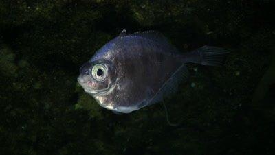 Tinselfish Swimming