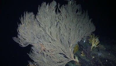 Deep Sea Sea Fan