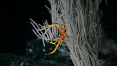 Squat Lobster on Sea Fan