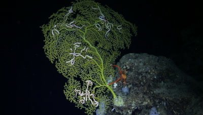 Brittle Stars and Squat Lobster on Yellow Coral