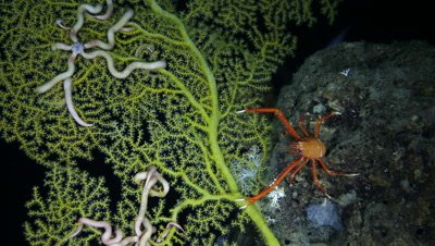 Squat Lobster and Snake Star