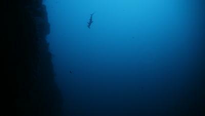 Hammerhead Slowly Swims Down Reef Wall