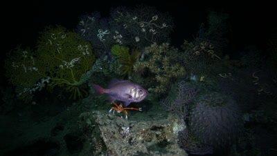 Lophelia Reef Habitat
