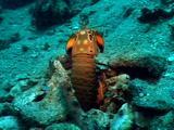 Stomatopod Crustacean In Cave