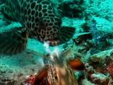 Grouper Steals Stomatopods Fish