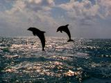 Pair Of Bottlenose Dolphin Jumping Out Of Water In Slow Motion