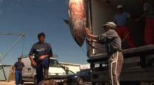 Tuna Catch Being Loaded Into Truck