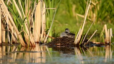 Pied-billed Grebe Podilymbus podiceps on nest,