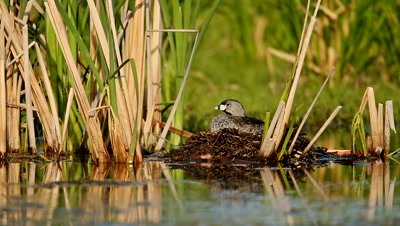Pied-billed Grebe Podilymbus podiceps on nest incubating