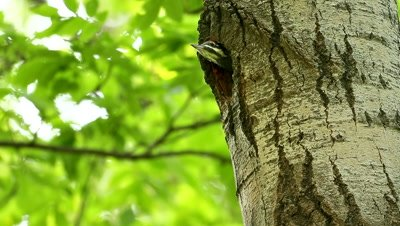 Pileated Woodpecker Dryocopus pileatus,babies at nest cavity