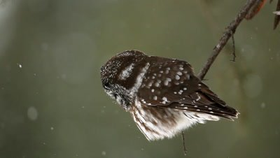 Boreal Owl Aegolius funereus,in snow hunting from small branch