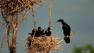 Double-crested Cormorant,Phalacrocorax auritus,adult at nest with juvenile begging