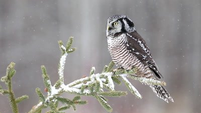 Northern Hawk Owl Surnia ulula,in snow on perch