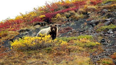 Grizzly Bear (Ursus arctus) walking on tundra mountain side