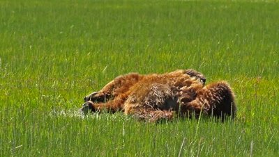 Grizzly Bear (Ursus arctus) laying down,sleeping,turning over