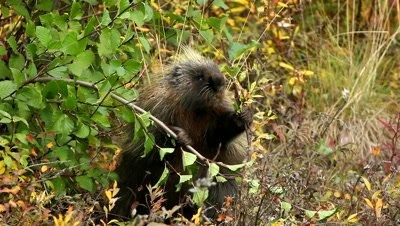 Porcupine,Erethizon dorsatum,eating leaves,feeding