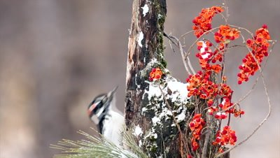 Hairy Woodpecker,Picoides villosus,male in winter eating