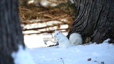 Eastern Gray Squirrel,Sciurus carolinensis,albino,in winter