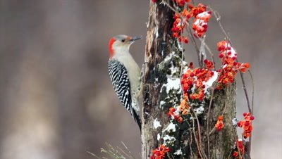 Red-bellied Woodpecker,Melanerpes carolinus,feeding in winter
