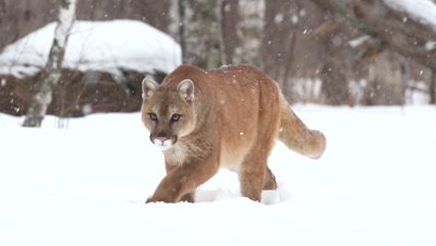Cougar Puma Concolor Walking in Snow