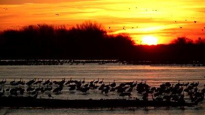 Sandhill Crane flock at sunset