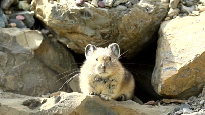 American Pika (Ochotona princeps) gathering food for winter