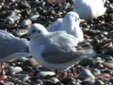 Black Headed Gull, Winter Plummage