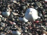 Ringed Plover, Black Headed Gull, Stalking