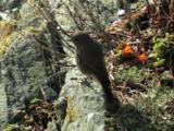 Black Redstart, Winter Plummage