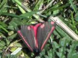 Cinnabar Moth, Adult, Bright, Diurnal, Moth