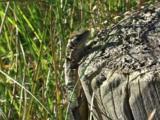 Common Lizard, Viviparous, Lizard, British