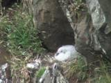 Fulmar Youngster On Nest And Yawning