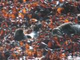 Grey Atlantic Seals Resting In Kelp