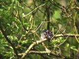 Long Tailed Tit Chicks Bunched On Branch