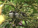 Long Tailed Tit Fledglings Bunched On Branch