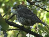 Mistle Thrush Fledgling In Tree