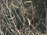 Reed Bunting And Insects